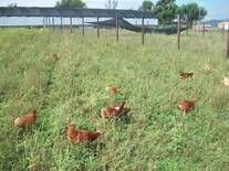 Avicultura Orgánica Empresarial