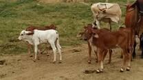 Productos de cruzas vacas mestizas x Gyr lechero