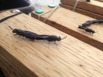 Apareamiento de mosca soldado
