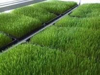 Sistema de forraje verde hidropónicos