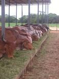Lote de vacas mestizas Gyr