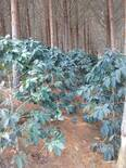 café con sombrío (eucalipto)