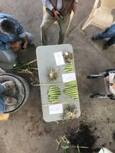 Secciones de tejido de planta de maiz