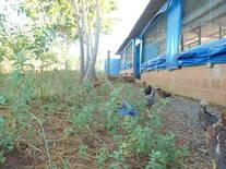 frango caipira semi intensivo
