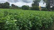 cultivo de ajonjoli en tropico