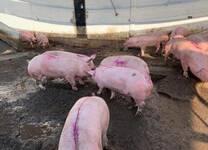 Venta de Cerdo en Pie