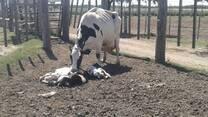 Nacimiento de trillizos en vaca Holando Argentino