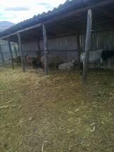 Mis ovejos