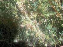 Alfalfa atacada por Cuscuta en el Valle del Río Colorado