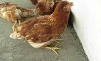 No es mi gallina, solo camina en esa posición