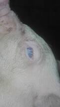 Enfermedad cerdos
