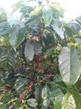 Una mata de café fertilizada con BRETOL500