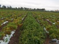 Fusariosis en Tomate en Rio Verde SLP