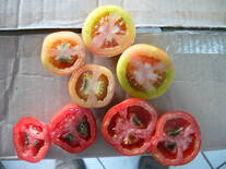 Tomates con Blossom End Rot en corte transversal
