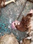 Síndrome del hígado graso en avicultura