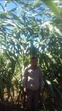 Sorgo gigante 002E..Agricomseeds bolivia
