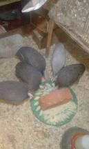 angola ou guinea