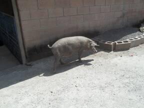 Cerdo Criollo en Semi Libertad en Bolivar, La Unión