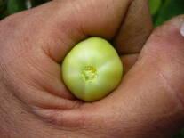 Exudados Bacterianos de Clavibacter michiganensis var. michiganensis (CMM) en Tomate