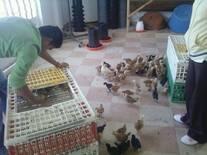 Entrega de pollas a los productores