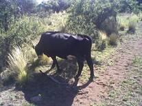 Campo de cría Vacuna en el Oeste de La Pampa