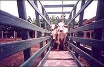 Embudo de acceso o retiro, en explotación bovina.