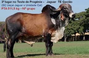 Teste de Progênie - Jaguar TE Gavião