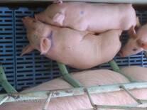 Maternidad en cerdos