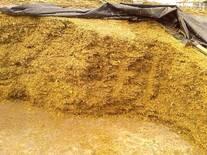 Fermentación en silo de maíz