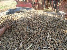 frutos, semillas con cascara cosechados con maquina