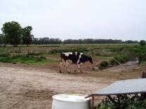 Recuperación de vaca luego de desvase y taco