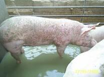 Pitiriasis rosácea en cerdos