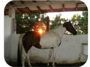 caballo pinto cubana (yegua)