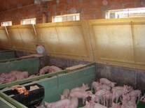 Gestión de microclimas en la producción porcina