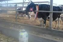 Vaca campeona en el establo el Taro, Huaral UNMSM