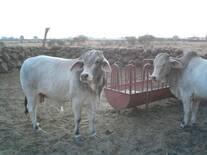 Engorda rústica de ganado