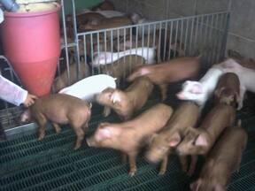 Cerdos sobre slats de plástico