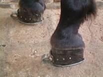 Multiherrajes en caballos