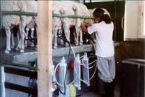 Tambos de ovejas en Argentina