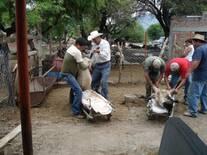 Preparando el ganado para inseminar