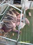 Area de maternidad. Cria de cerdos.