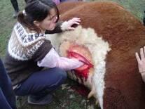 Cesárea en vacas.
