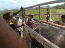 Palpacion en vacas