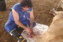 Cirugía de acrobustitis en ovino