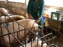 Sistema de inseminación en cerdas, más barato pero igual de efectivo