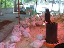 Pollos de 30 días