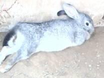 Conejos gris
