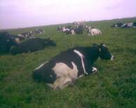 Pastoreo sobre rye grass