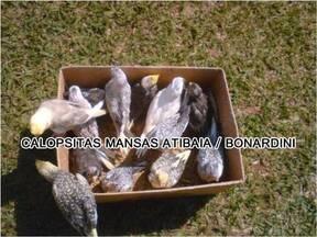 calopsitas mansas Atibaia /Bonan Nardini