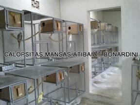 calopsitas mansas Atibaia Bonan Nardini